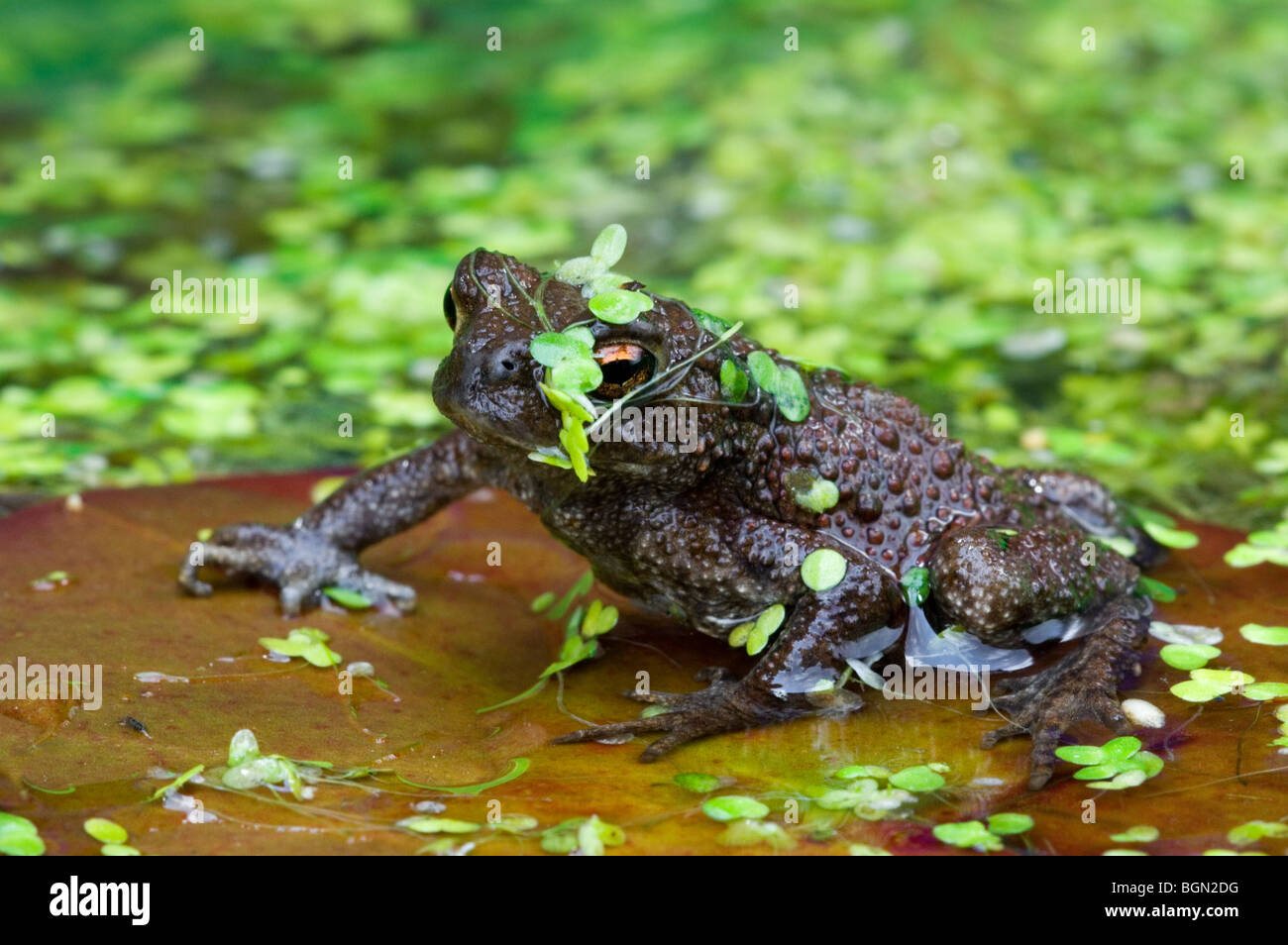 Juvenile Common toad (Bufo bufo) floating on lily pad  in pond Stock Photo