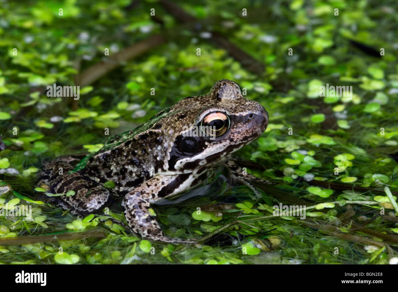 European common brown frog (Rana temporaria) floating amongst duckweed in pond - Stock Image