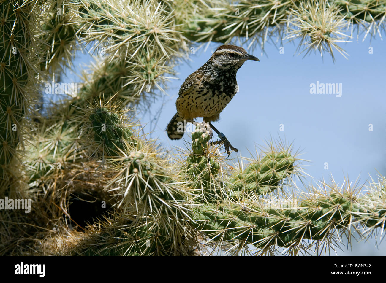 Cactus wren (Campylorhynchus brunneicapillus) perched on Chain fruit / Jumping cholla, Sonora desert, Arizona, USA - Stock Image