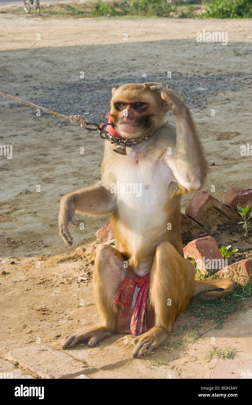 Trained Monkey giving a salute in road side performance - Stock Image