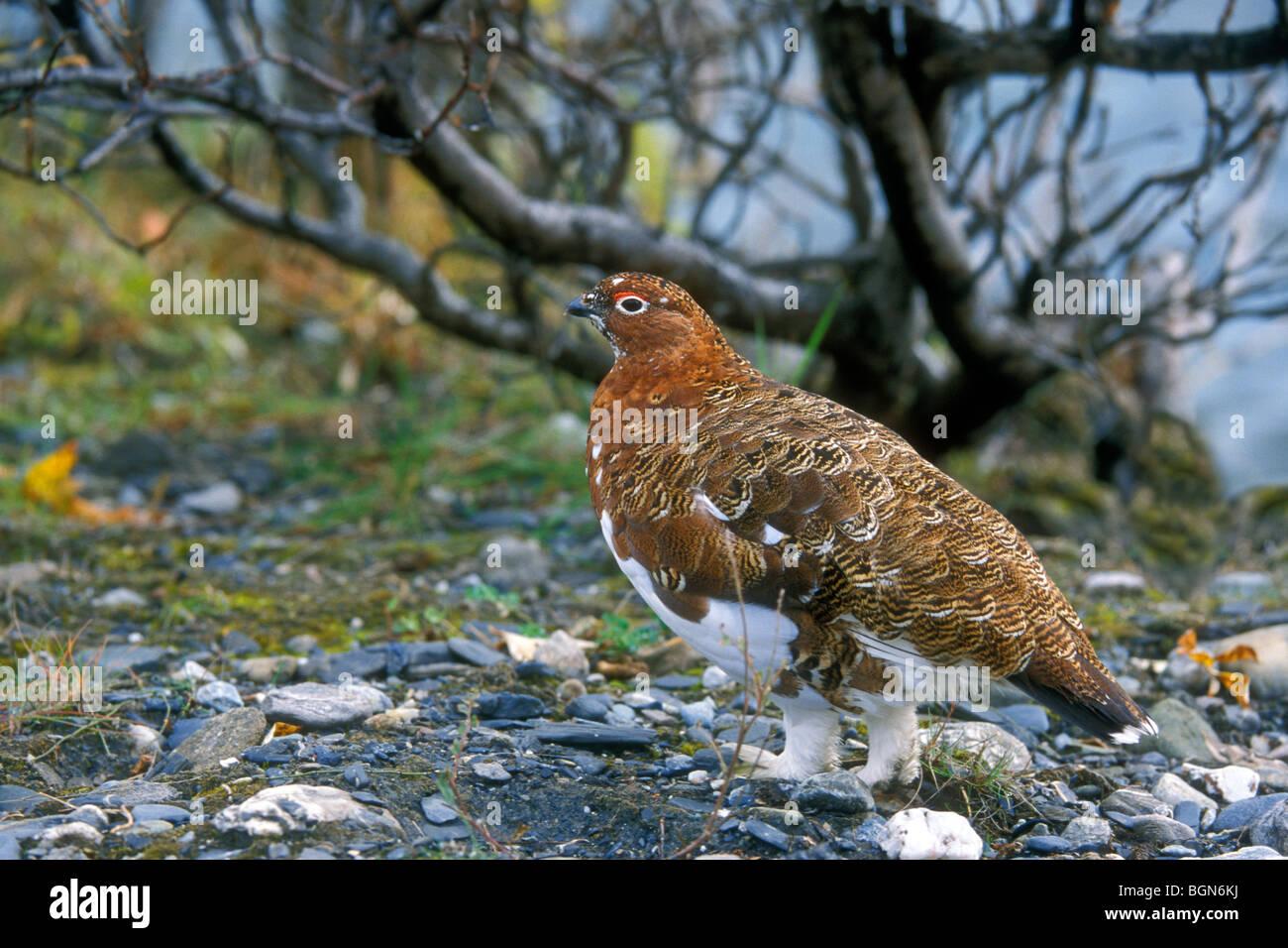 Willow ptarmigan / willow grouse / red grouse (Lagopus lagopus) in autumn plumage on the tundra, Denali NP, Alaska, - Stock Image