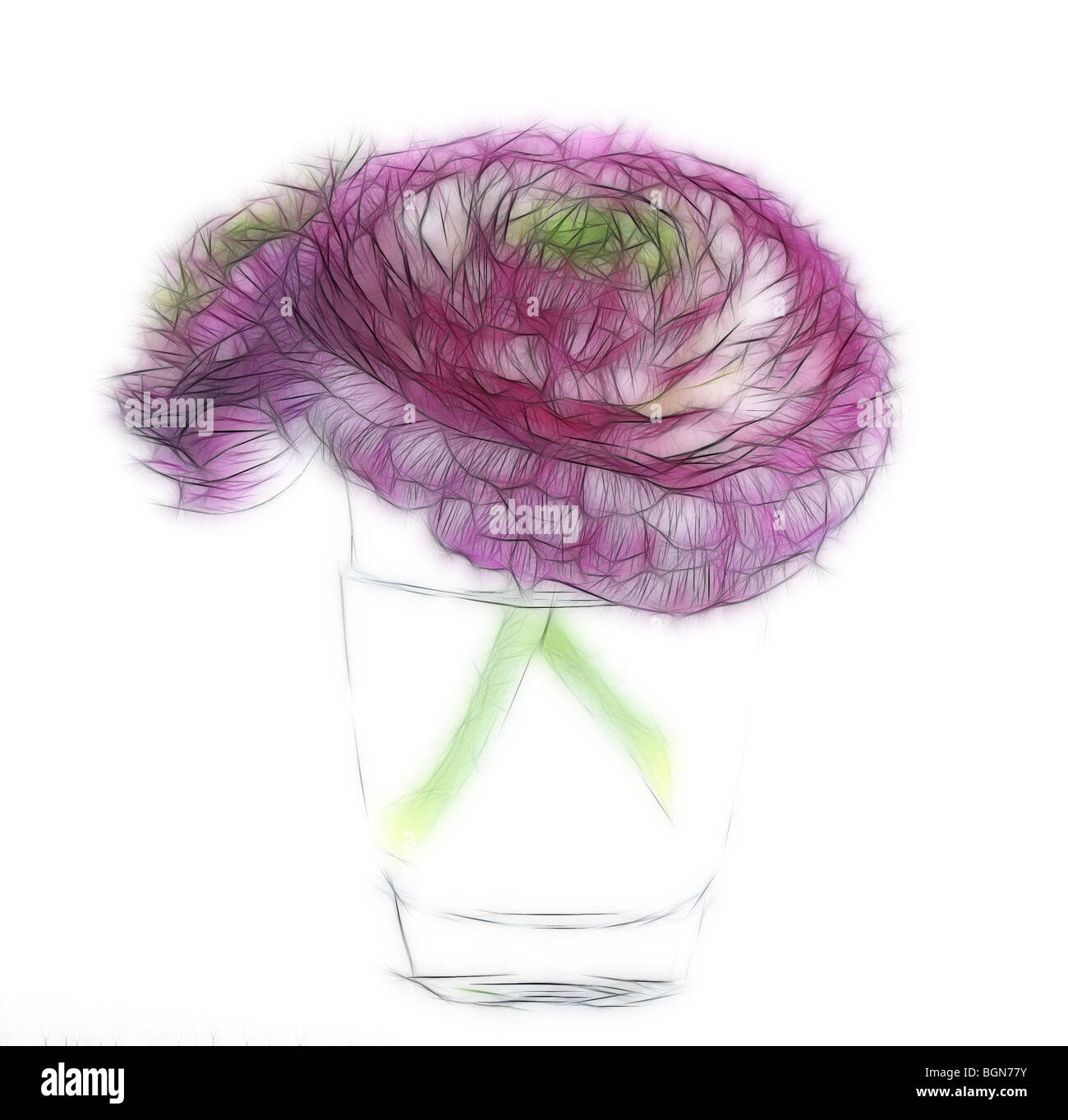Photo illustration:  Two ranunculus flower heads in a glass vase on a white background - Stock Image