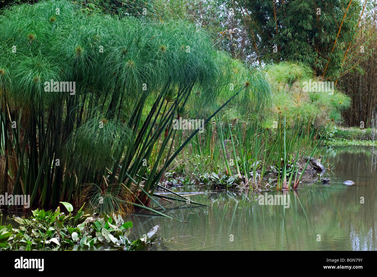 papyrus sedge paper reed indian matting plant nile grass stock photo 27511623 alamy. Black Bedroom Furniture Sets. Home Design Ideas