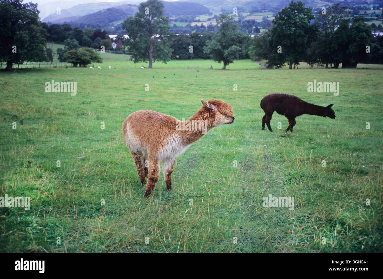 Alpaca's in the UK. Camelid Family. Types of Alpaca, Huacaya and Suri. Lama Pacos. - Stock Image