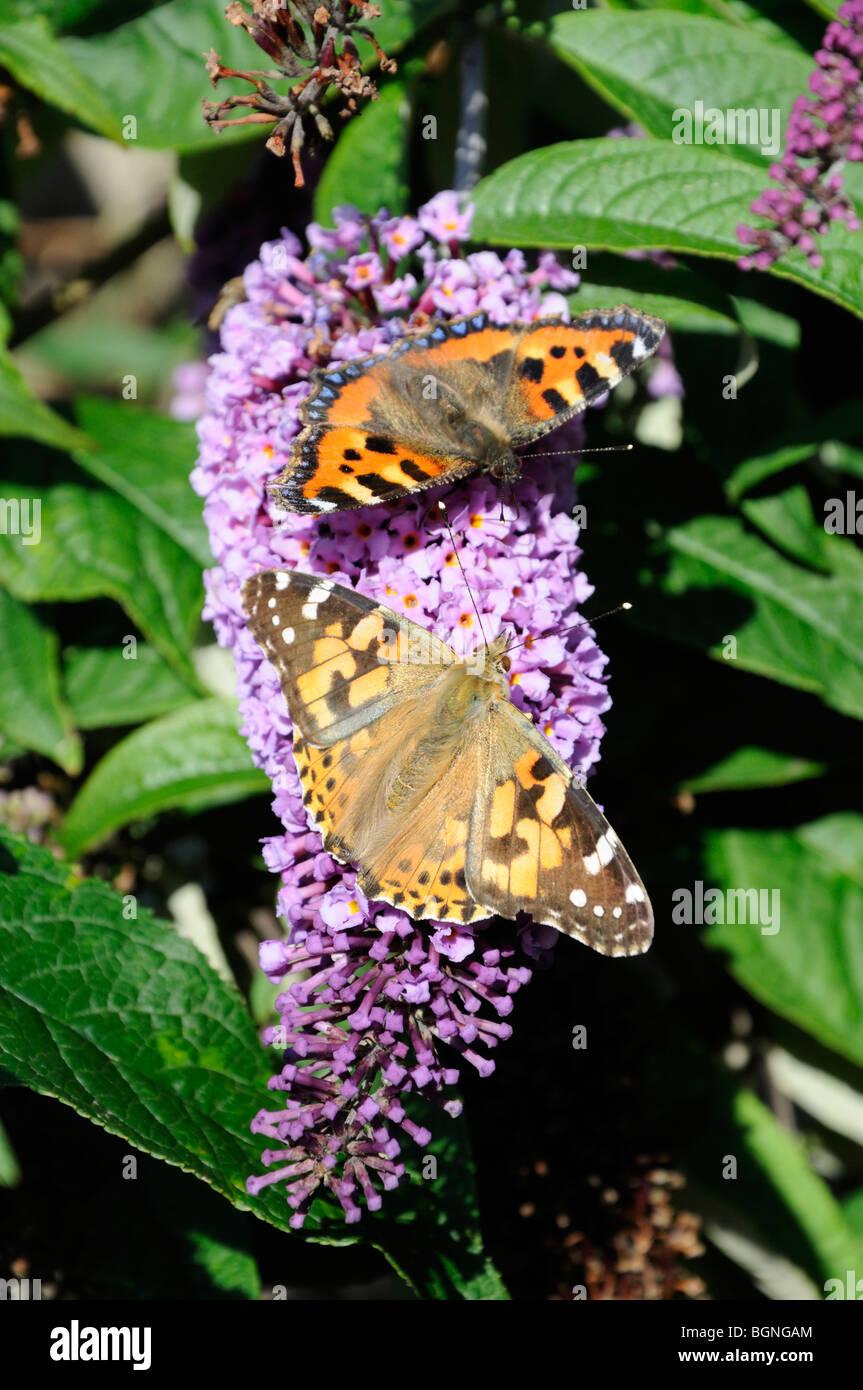 Small Tortoiseshell (top) and Painted Lady (bottom) butterflies feeding on buddleia flowers, Scotland, UK. - Stock Image