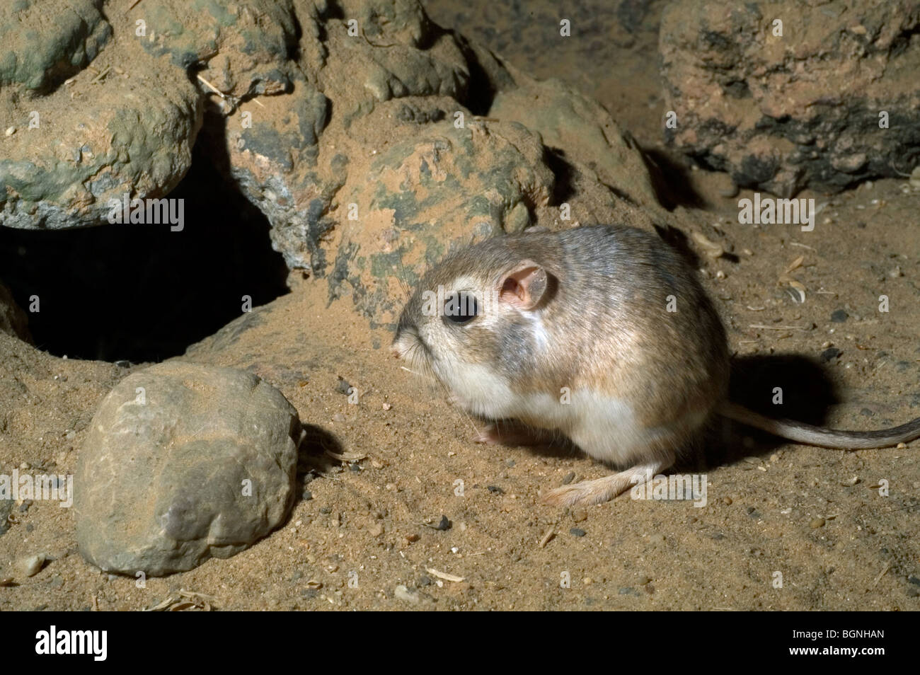 Merriam's kangaroo rat (Dipodomys merriami) near burrow ...