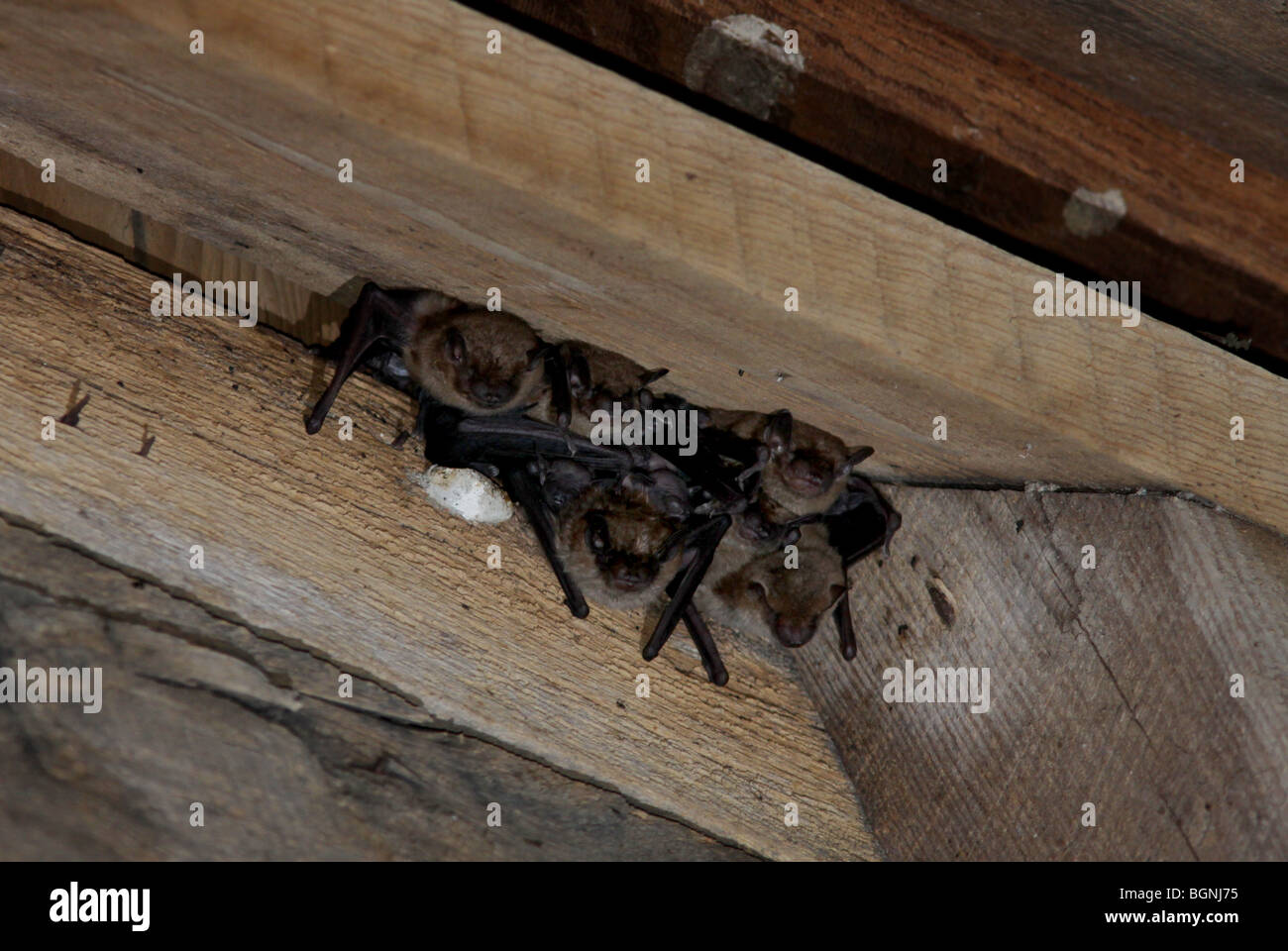 little brown bat attic rafters roosting - Stock Image