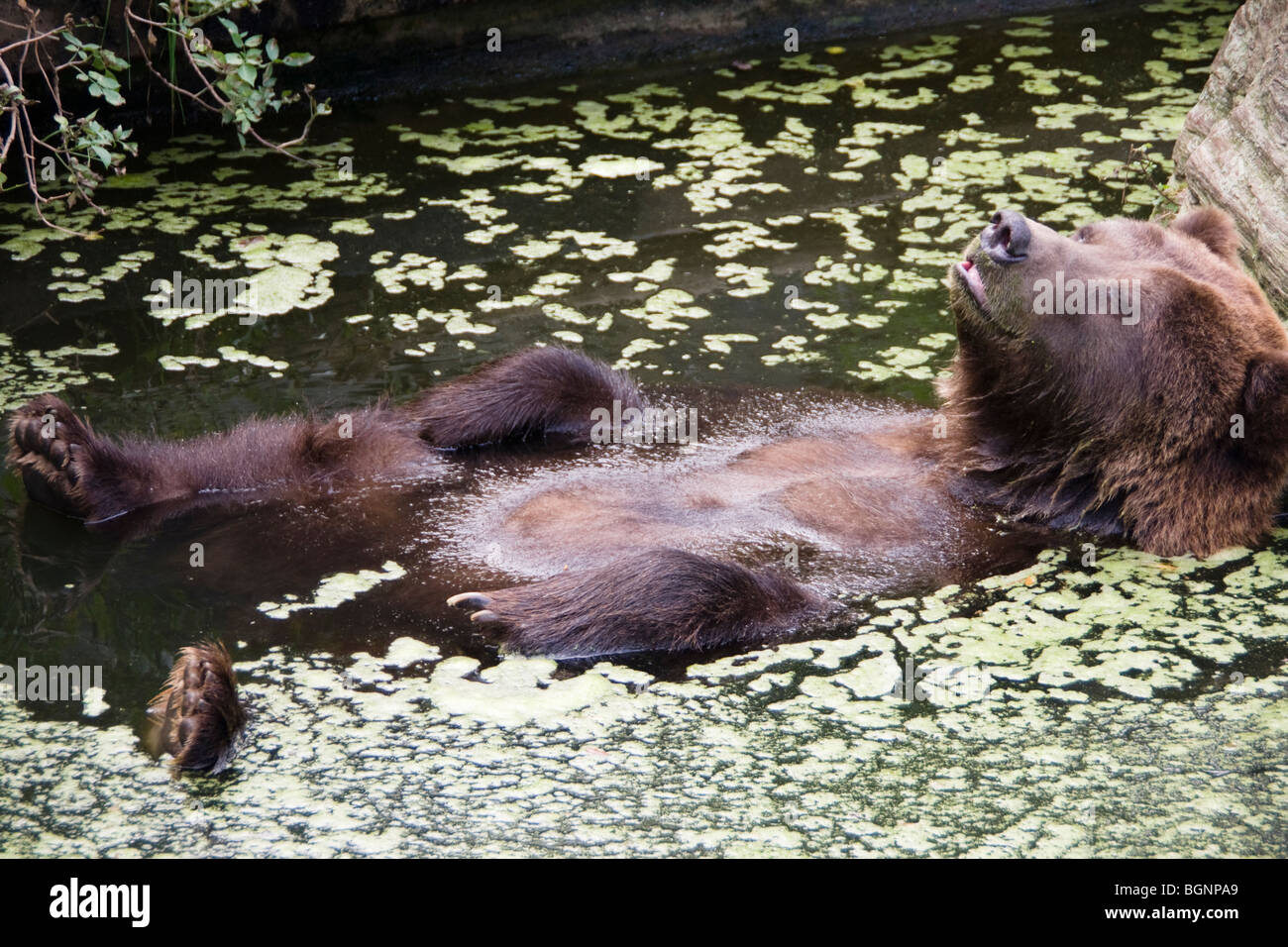 A brown bear at Cologne Zoo Germany relaxes in the pool in its enclosure - Stock Image