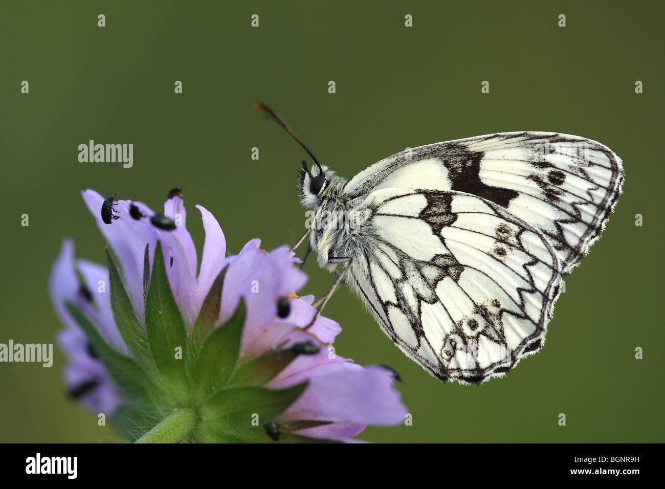 Marbled white (Melanargia galathea) resting on Field scabious flower (Knautia arvensis) - Stock Image