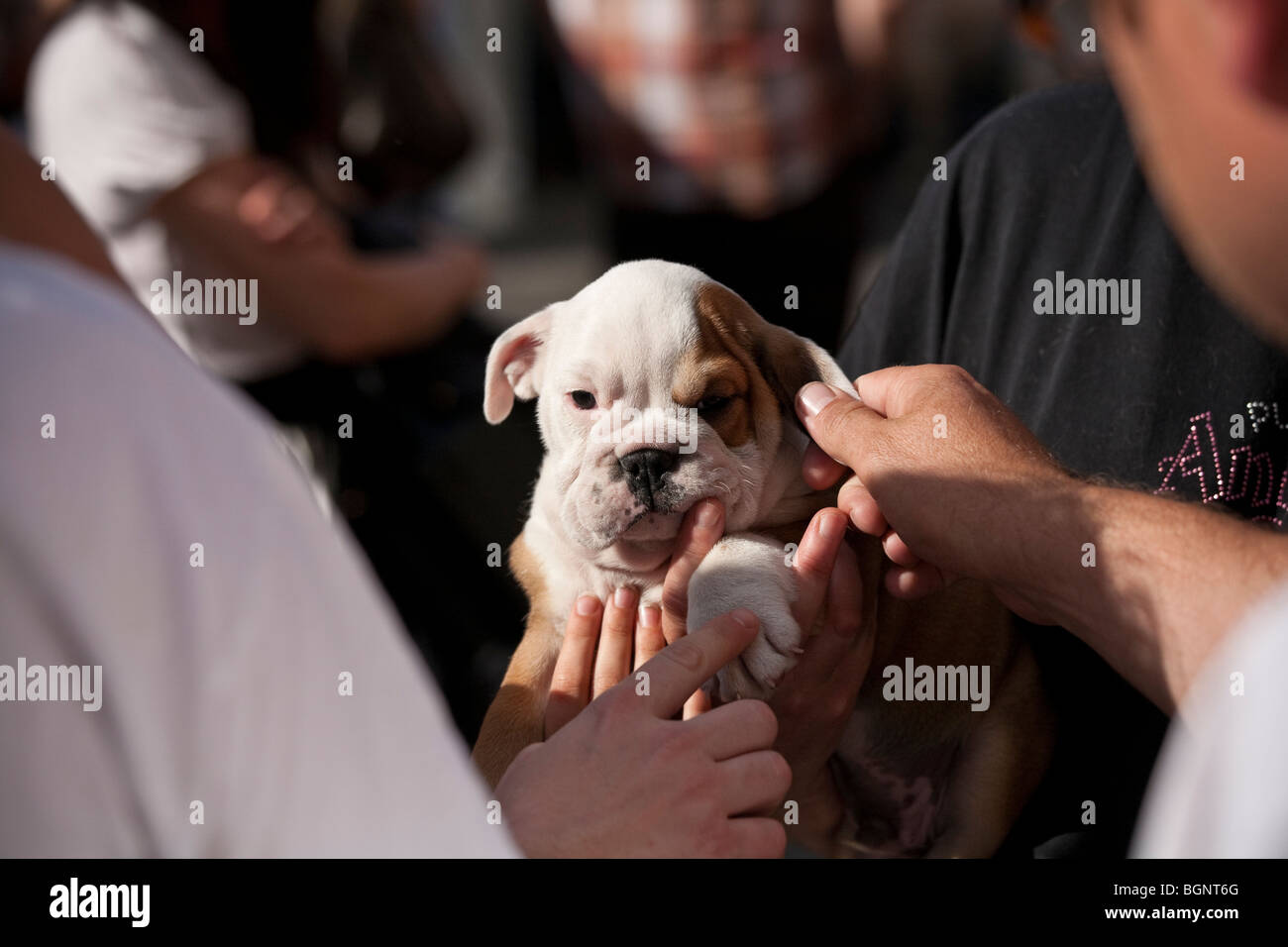 Several hands reaching to pet a tiny English Bulldog puppy - Stock Image