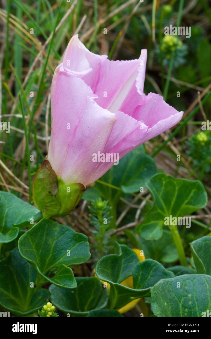 Beach morning glory (Convolvulus soldanella / Calystegia soldanella) - Stock Image
