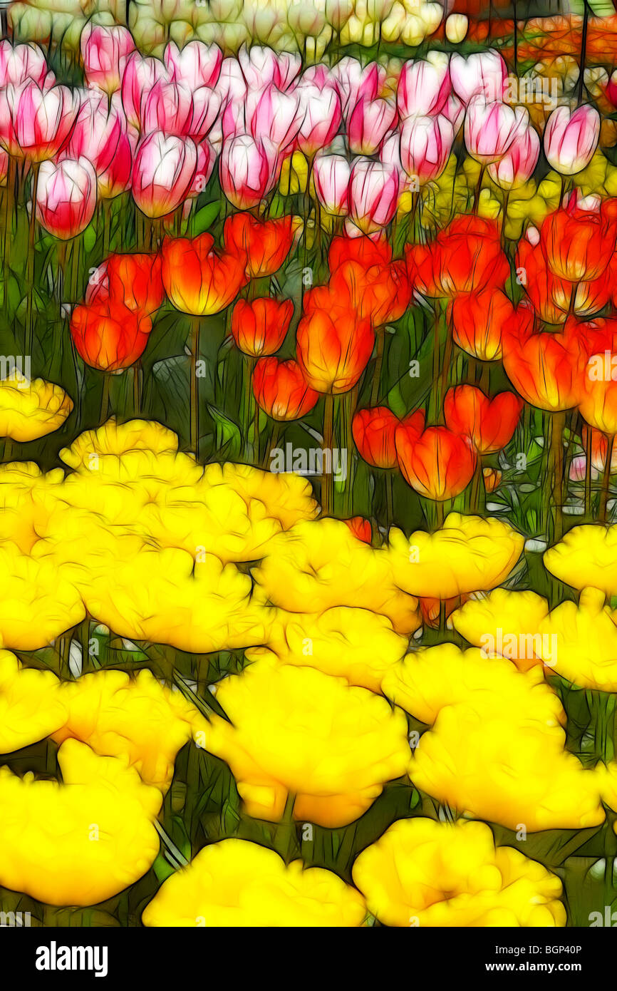 Photo illustration:  Displays of different variety tulips in Spring - Stock Image