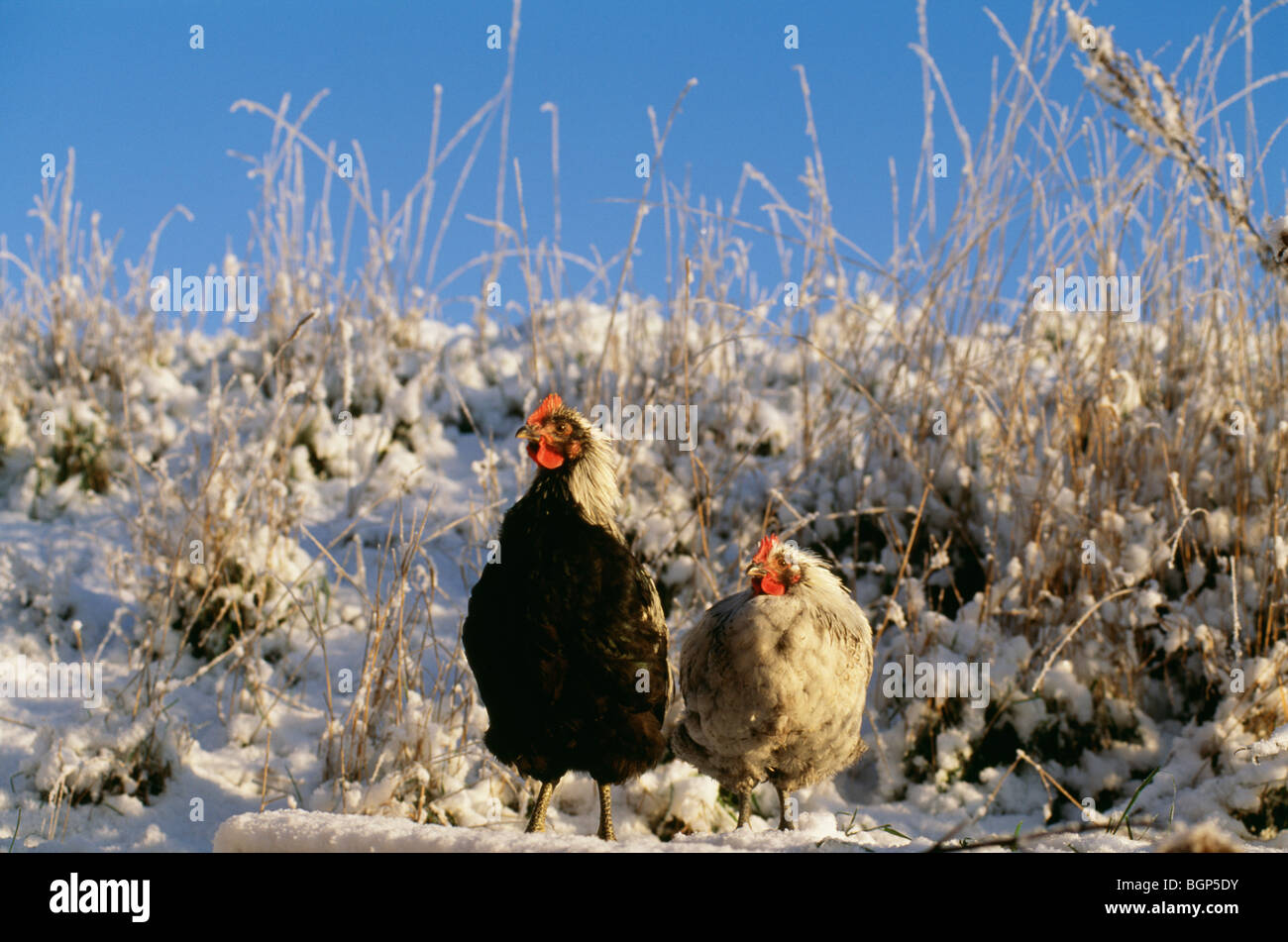 Two hens, Sweden. - Stock Image