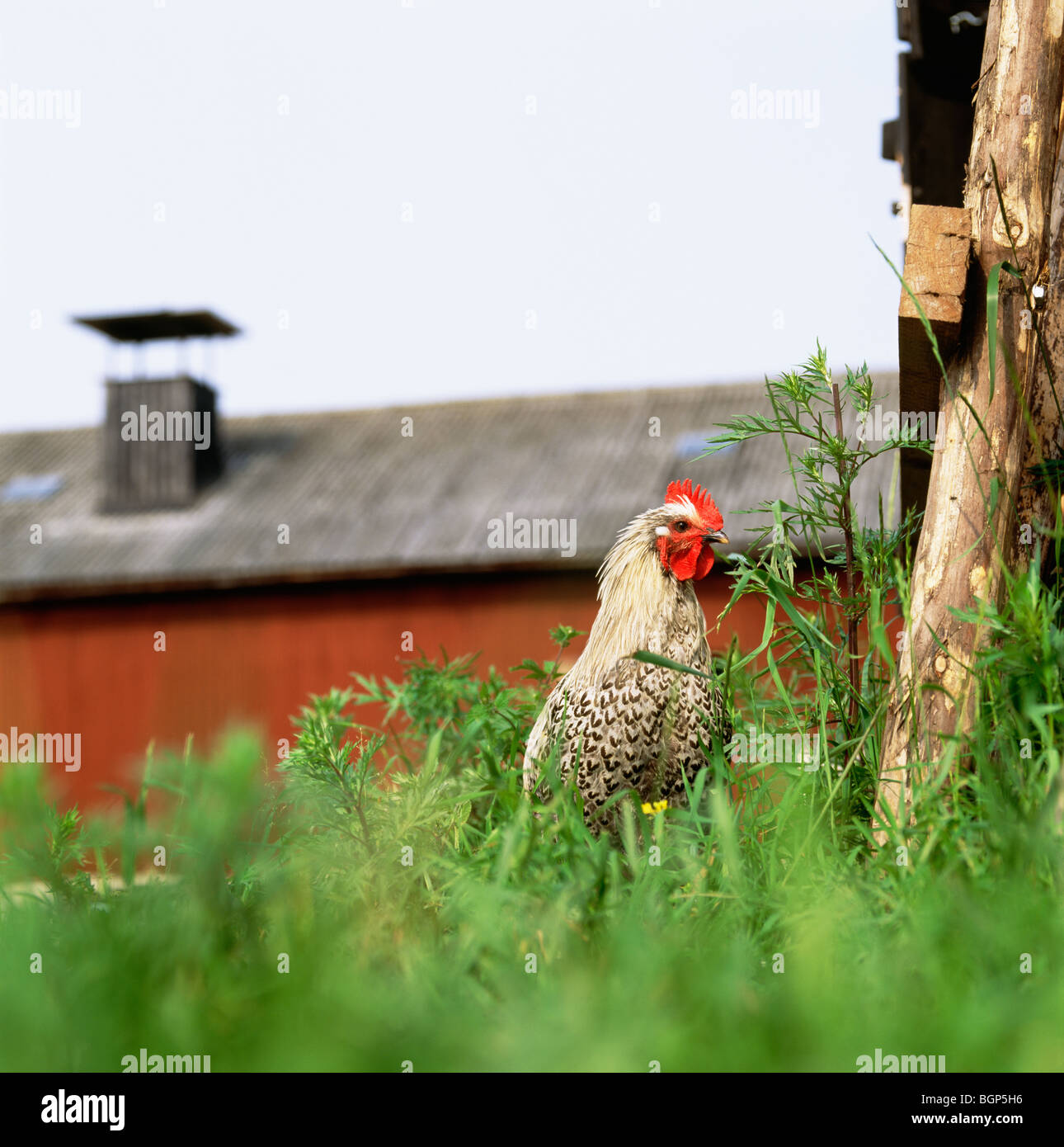 A rooster in a farm, Sweden. - Stock Image