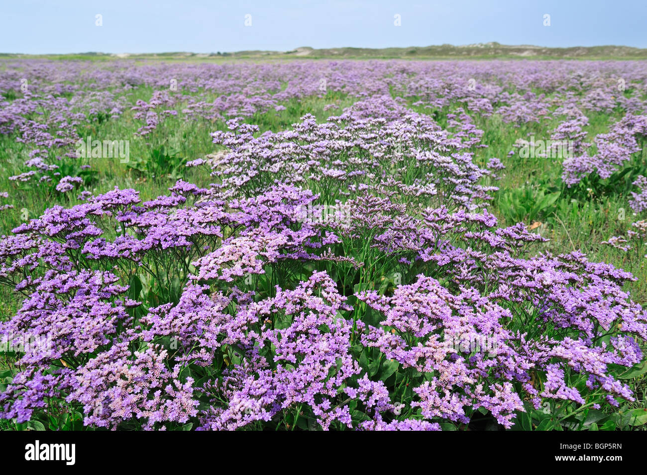 Sea lavender (Limonium vulgare) in flower in salt marsh along the North Sea - Stock Image