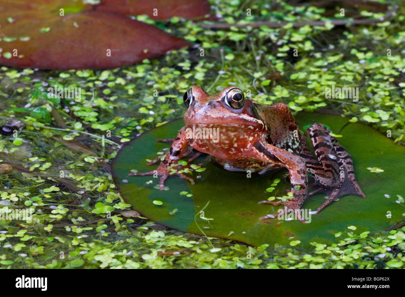European common brown frog (Rana temporaria) juvenile sitting on water lily pad amongst duckweed in pond - Stock Image