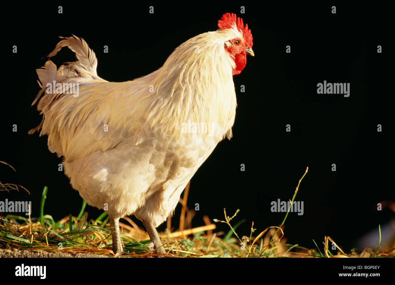 A hen, Sweden. - Stock Image