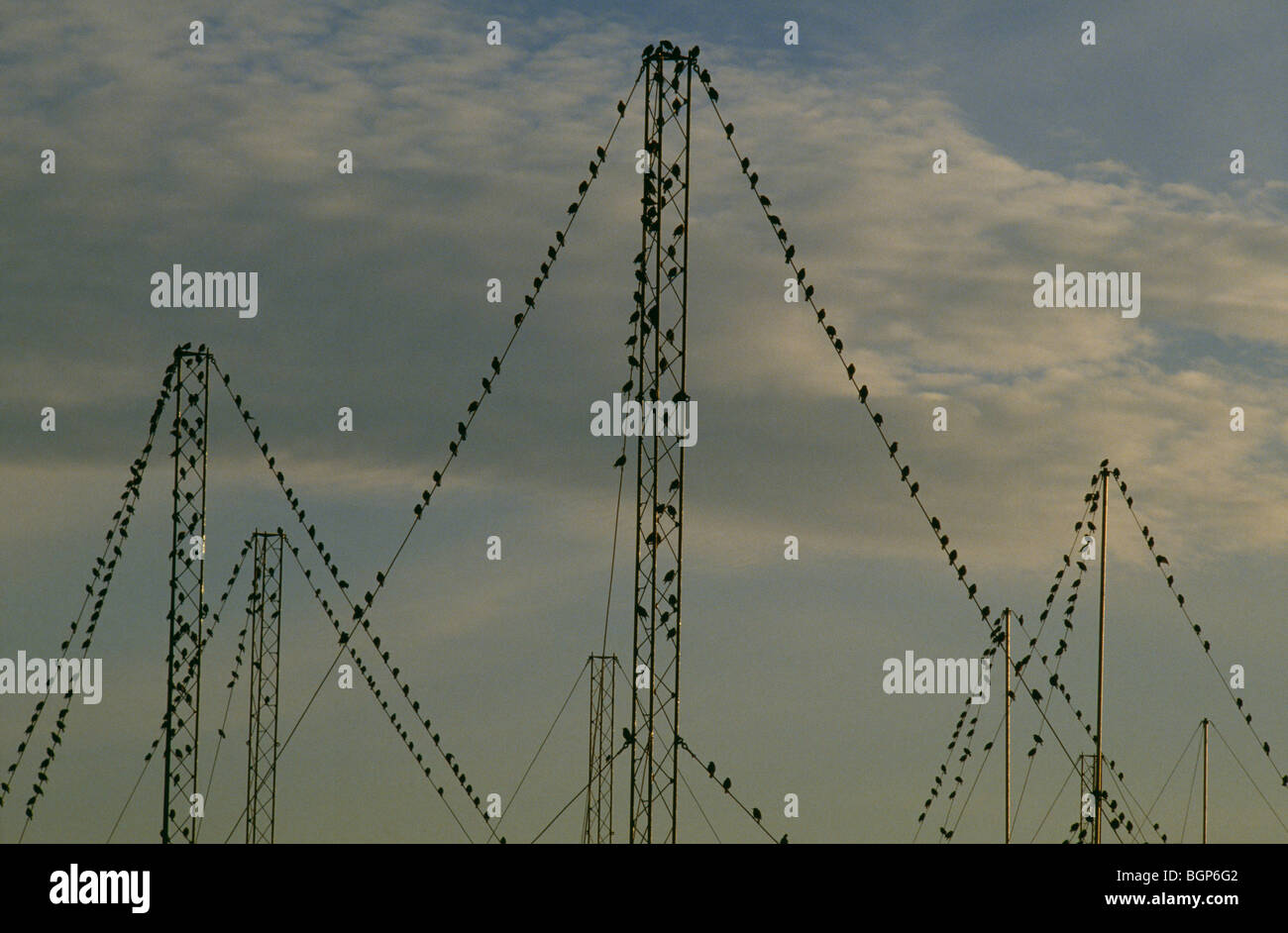 Starlings on electric lines, Sweden. - Stock Image