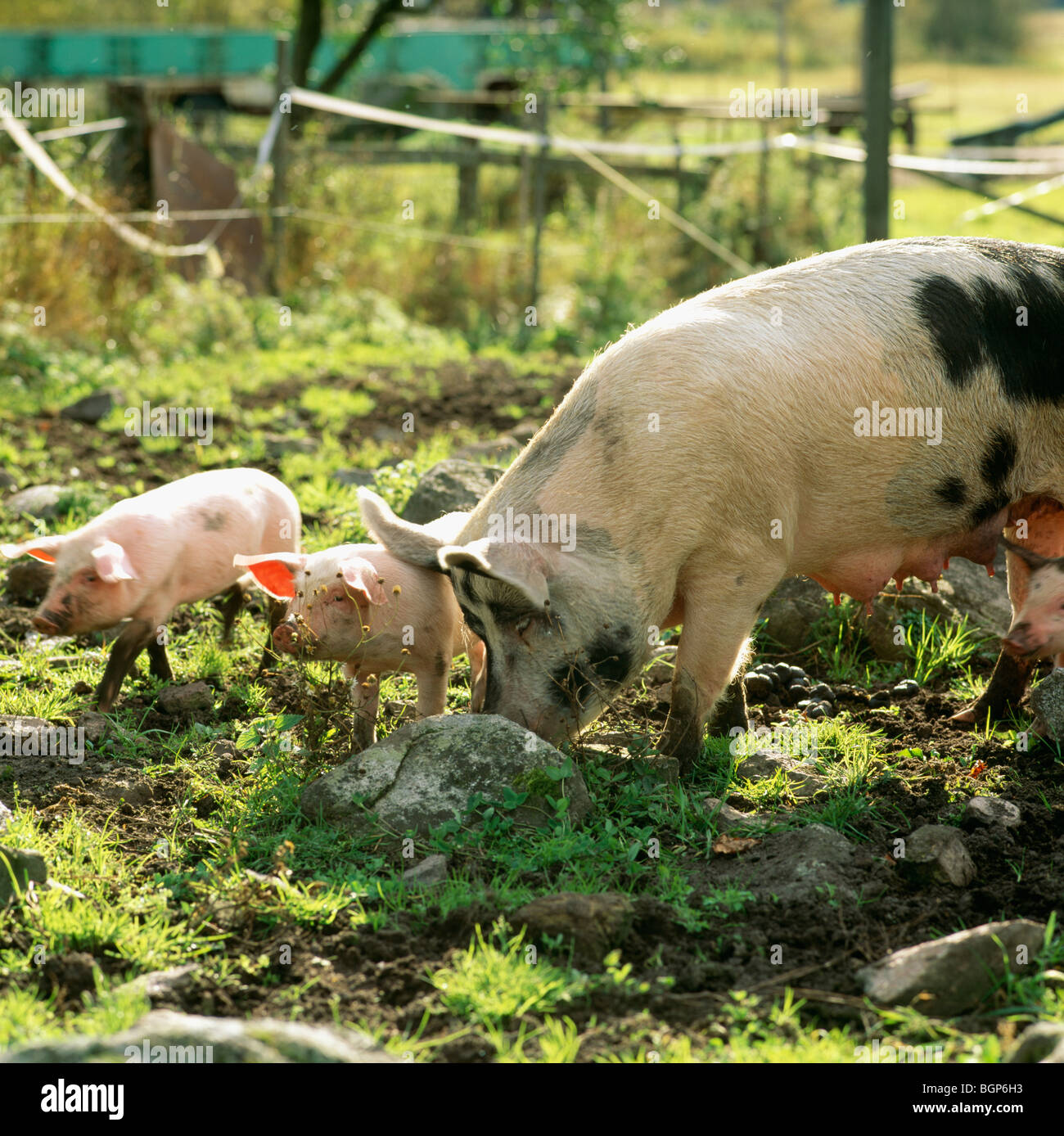 Pigs at a farm, Sweden. - Stock Image