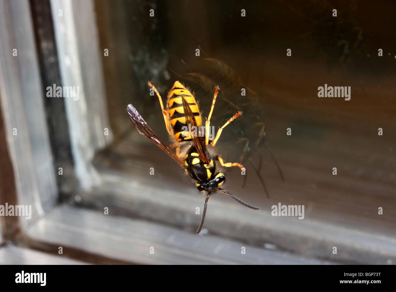 A wasp, close-up. - Stock Image