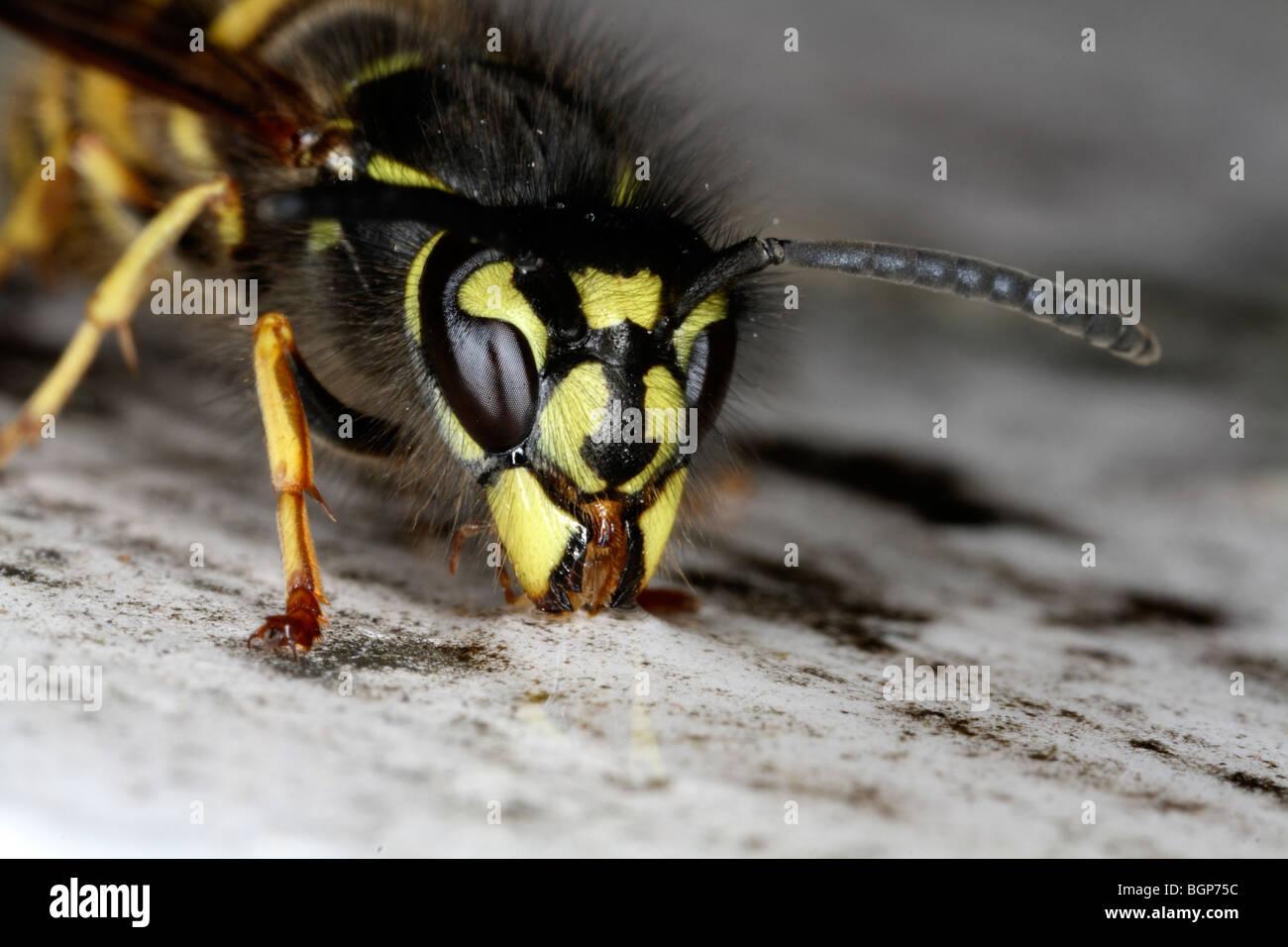 Wasp, close-up. - Stock Image