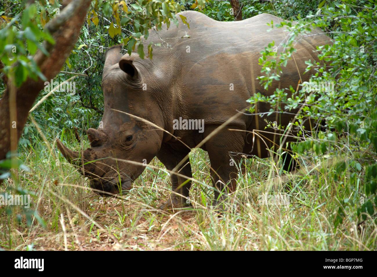 Rhino in the wild at a  Ugandan Rhino sanctuary Africa - Stock Image