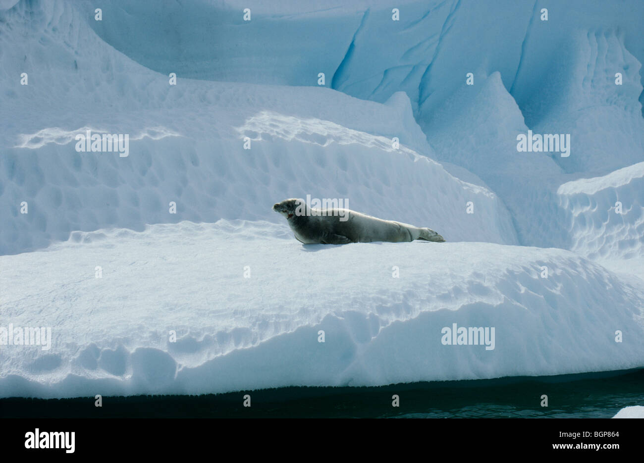 Crabeater Seal, the Antarctic. Stock Photo