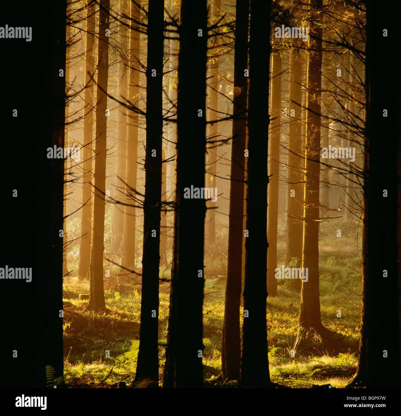 Spruce forest, Jutland, Denmark. - Stock Image