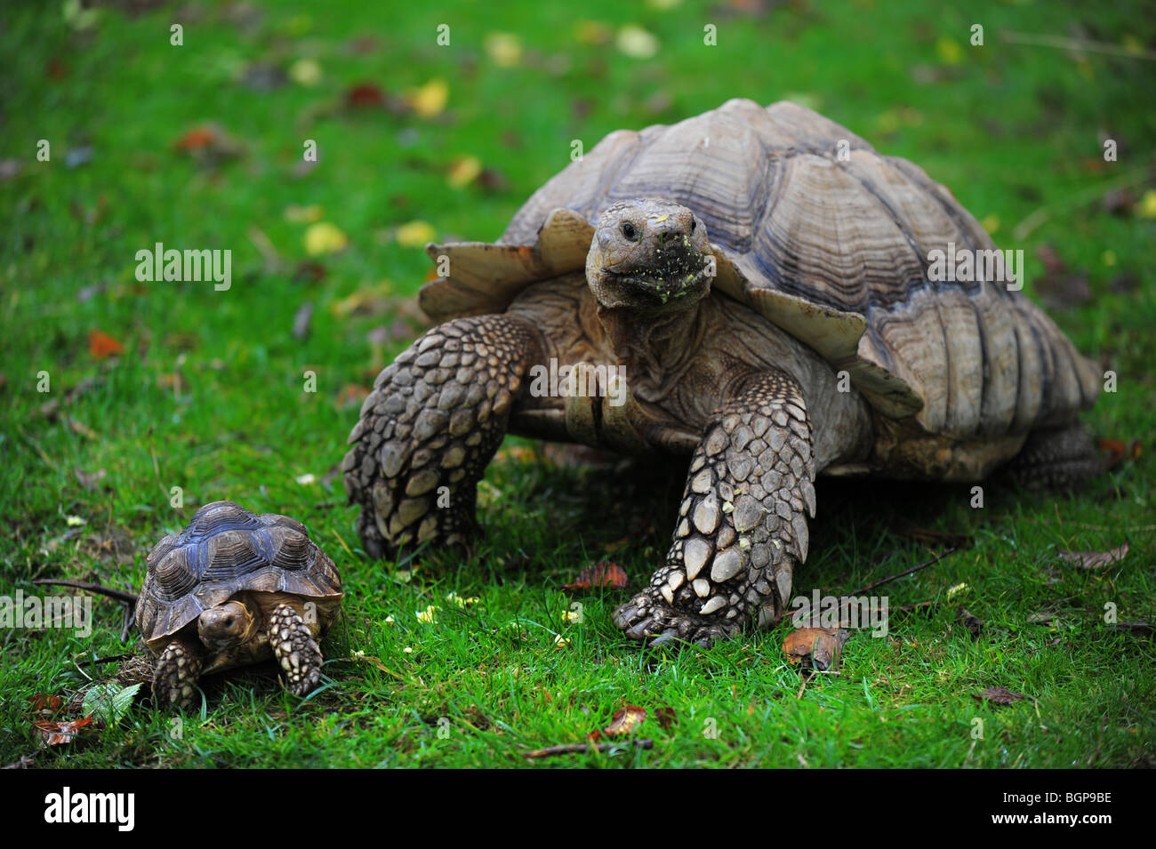a very large big pet tortoise sitting next to a very small tortoise in a garden in Cornwall. - Stock Image