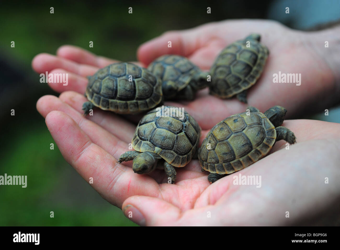 hands holding five baby very young tortoises - Stock Image