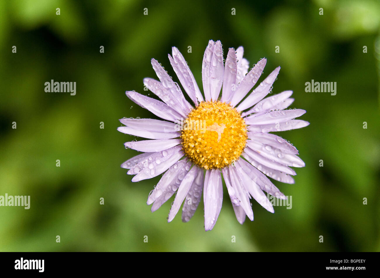 Alpine aster, Takh Takh Meadow, Gifford Pinchot National Forest, Washington. - Stock Image
