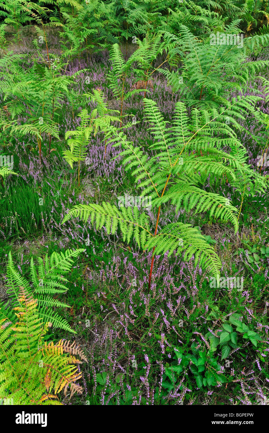 Common bracken (Pteridium aquilinum) and heather in heathland - Stock Image