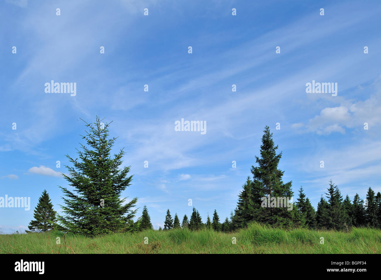 Spruce trees in the High Fens / Hautes Fagnes, Belgian Ardennes, Belgium - Stock Image
