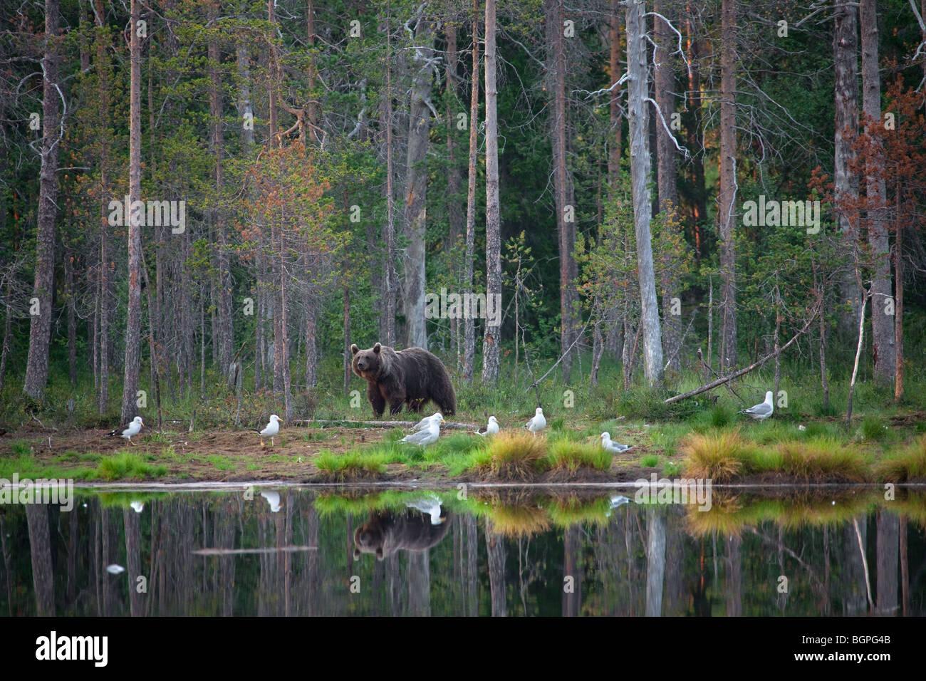 Brown bear (Ursus arctos) foraging along pond in the taiga, Karelien, Finland, Scandinavia - Stock Image