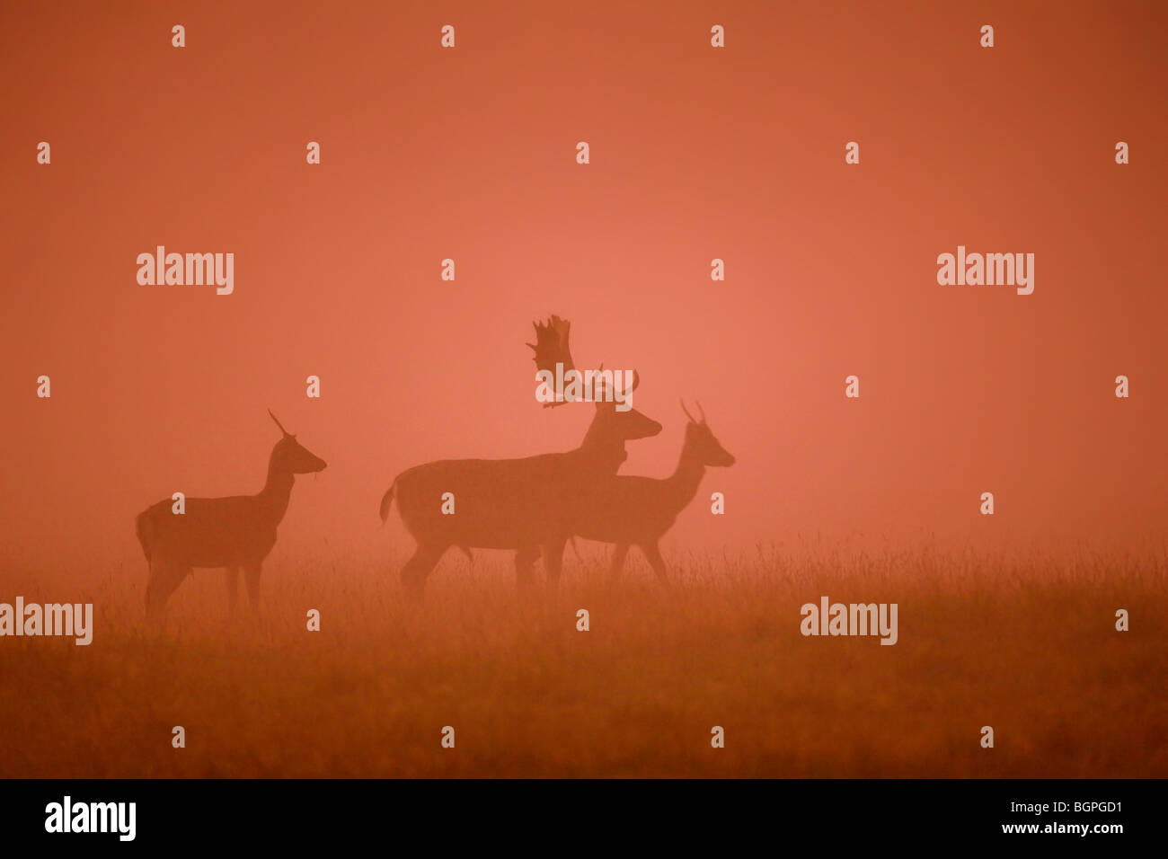 Fallow deer (Dama dama) stag silhouettes in the mist at sunset in the rutting season in autumn - Stock Image