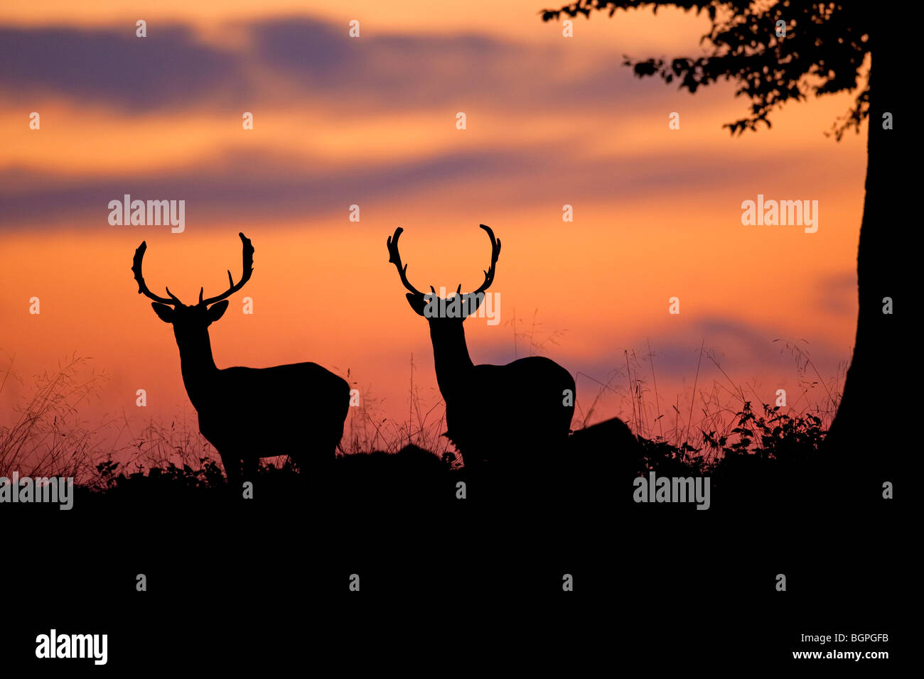 Fallow deer (Dama dama) stag silhouettes at sunset in the rutting season in autumn - Stock Image