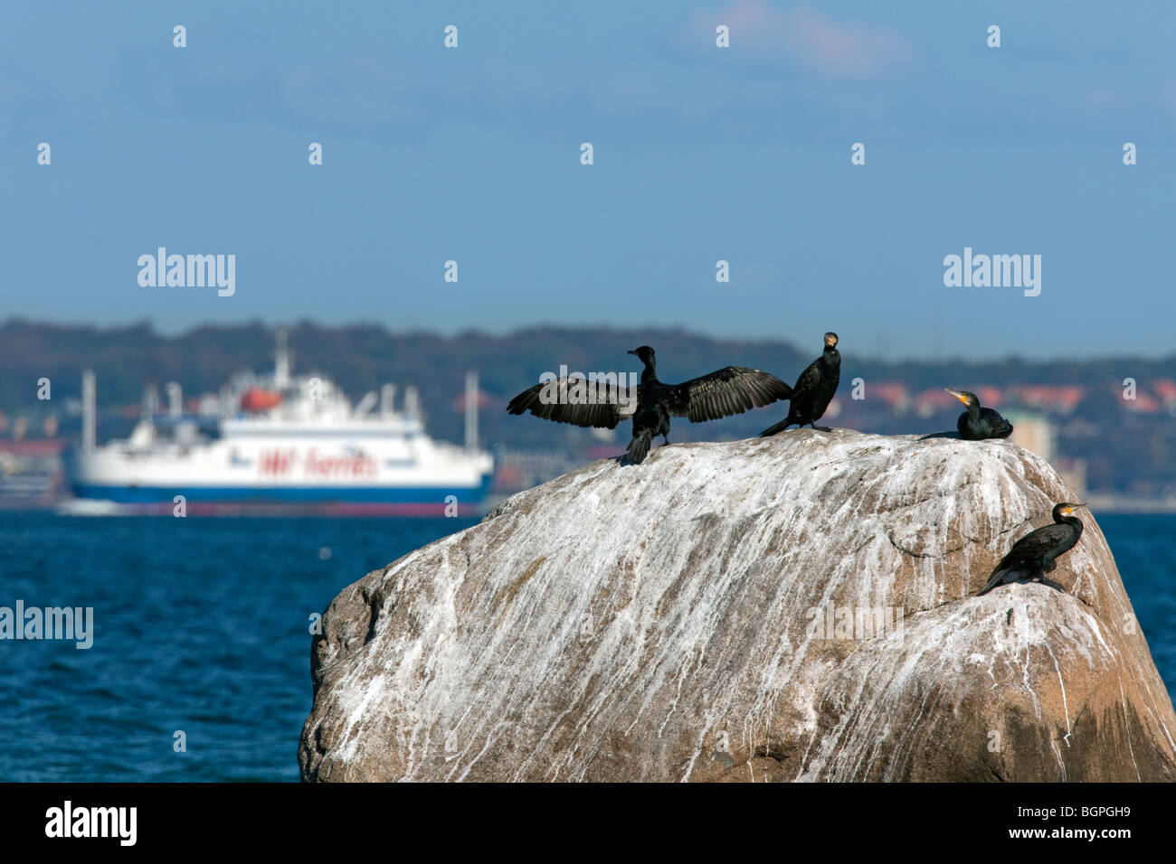 Great cormorants (Phalacrocorax carbo) with wings spread on rock in the sea, Denmark - Stock Image
