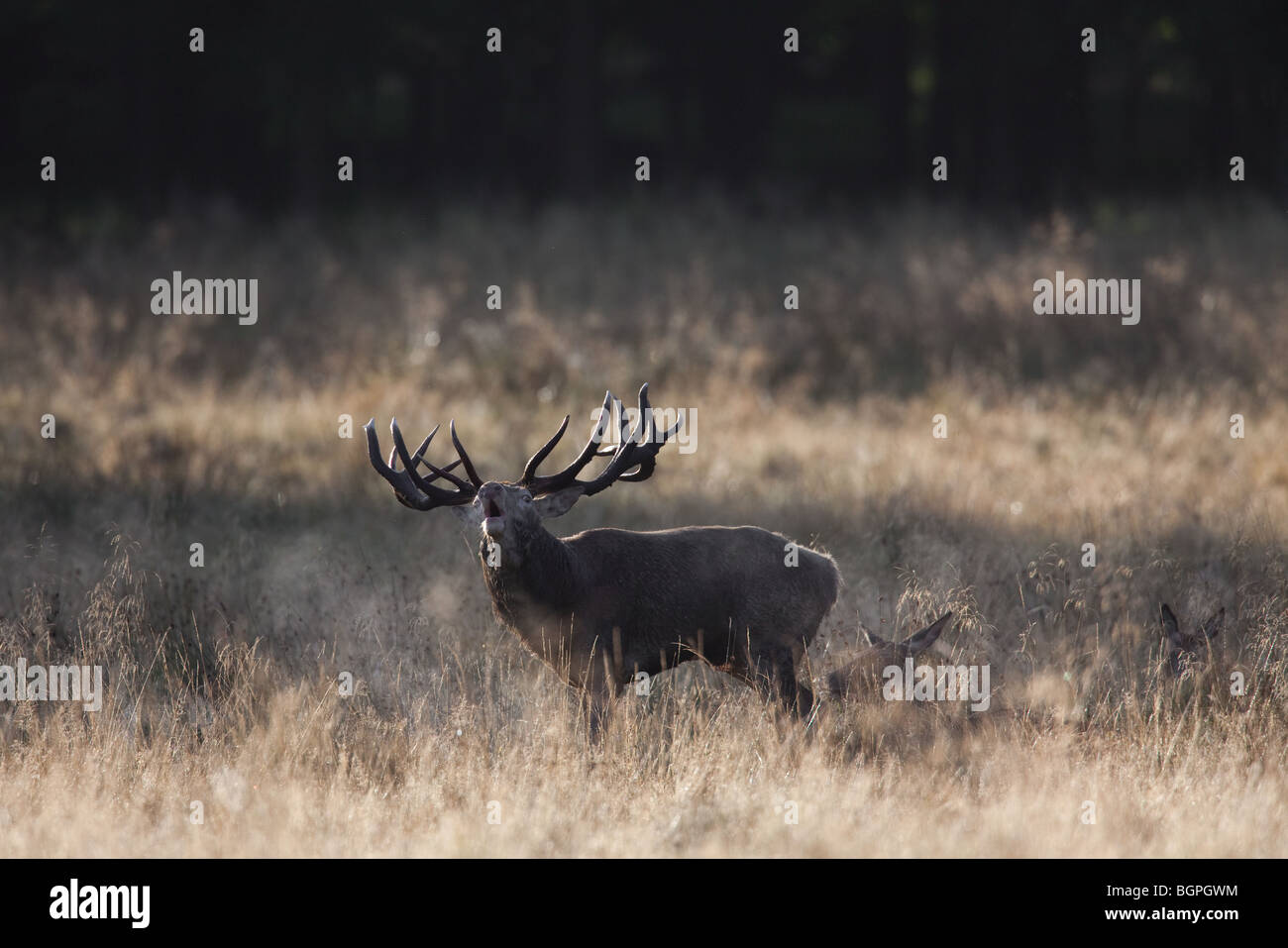 Red deer (Cervus elaphus) stag herding hinds at forest edge during the rut in autumn, Denmark Stock Photo