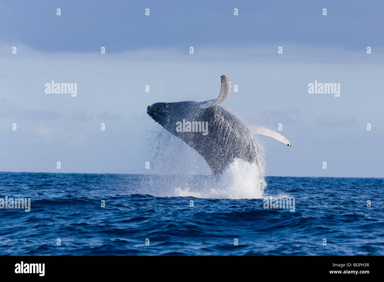 humpback whale breaching hawaii - Stock Image