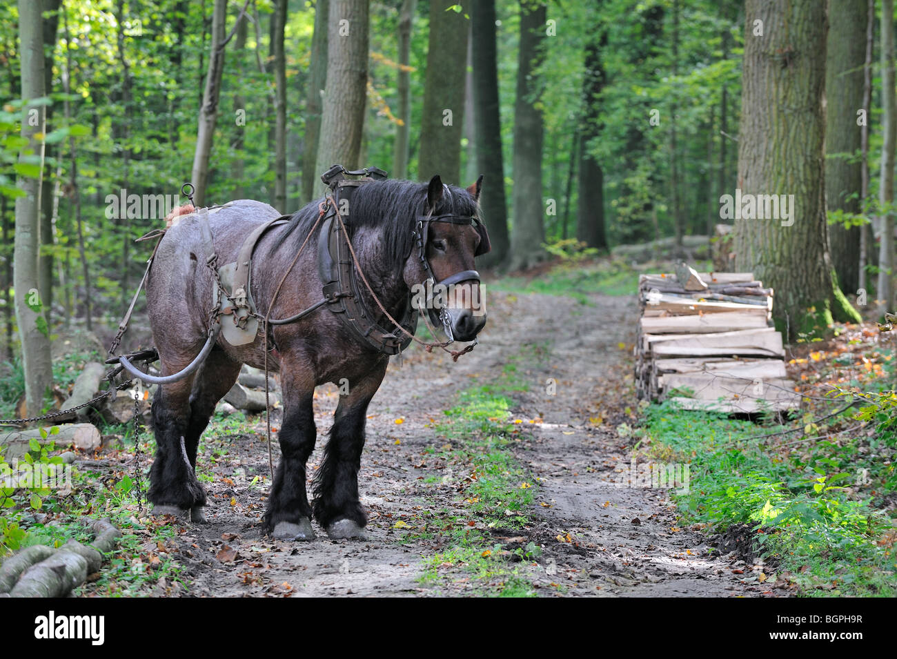 Forester's draught horse (Equus caballus) working in forest of nature reserve - Stock Image
