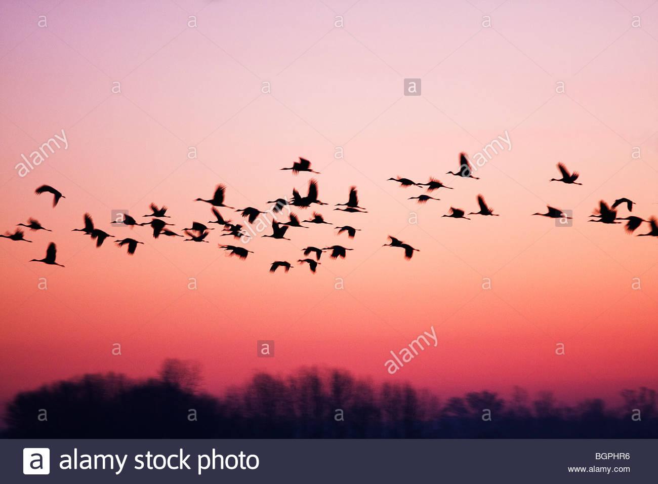 Sandhill Cranes in flight before sunrise - Stock Image