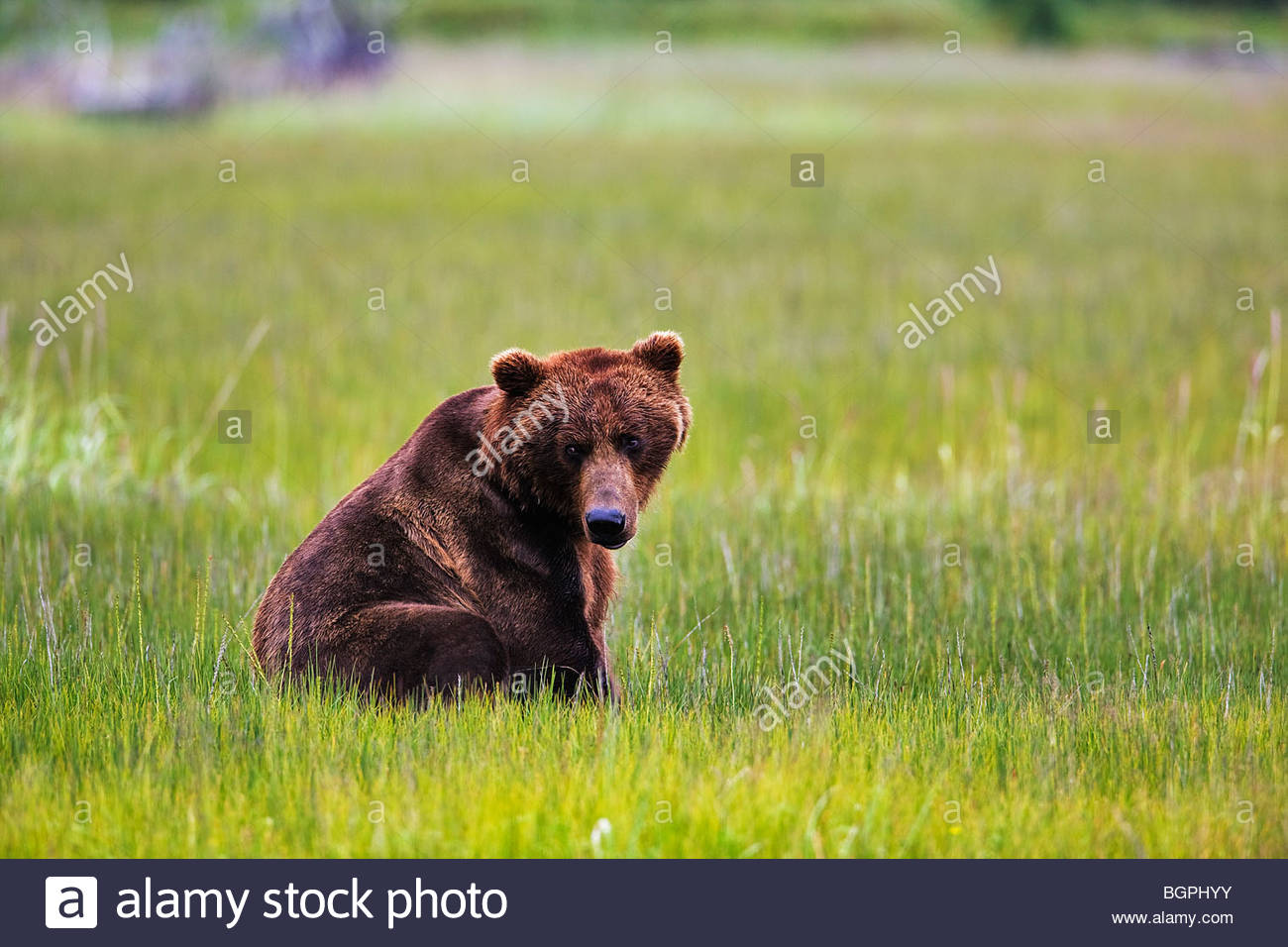 Coastal Brown bear male (ursus arctos) setting in tital flat of cook inlet lake clark national park - Stock Image