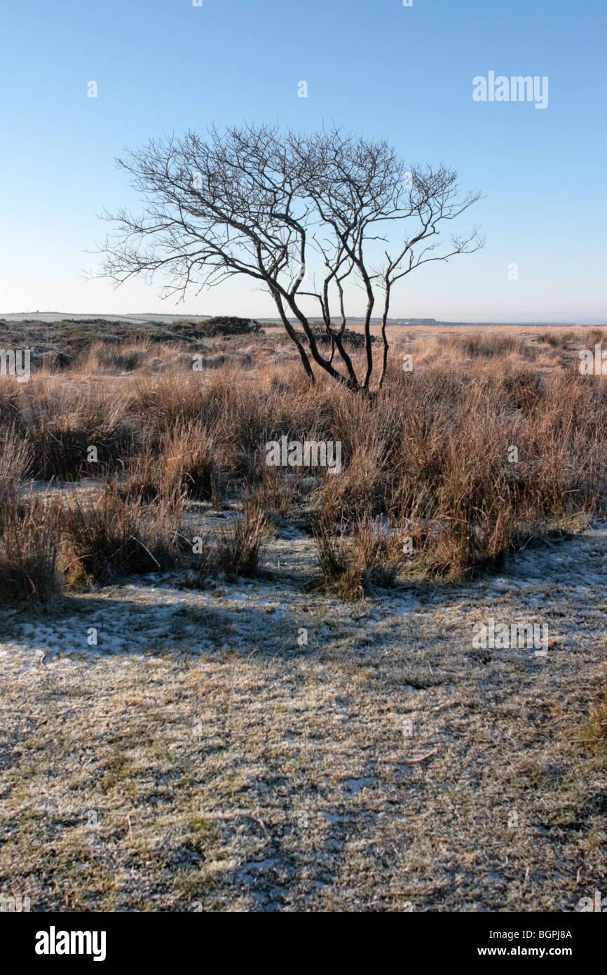 A lone tree sits on Bursdon Moor in Devon UK - Stock Image