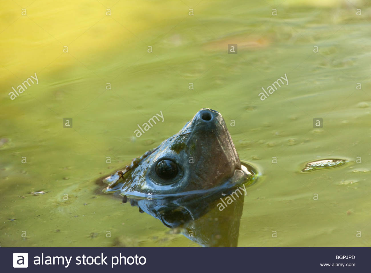 Snapping Turtle, Florida - Stock Image
