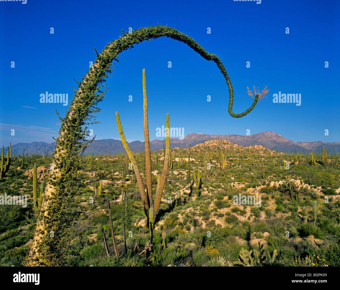 Boojum trees, granite rocks Scientific name: idria columnaris, south of Catavina, Baja California Peninsula, Mexico - Stock Image