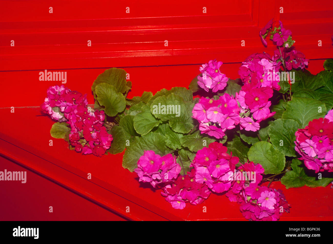 Red painted wood planted holds pink geraniums in a riot of color. - Stock Image