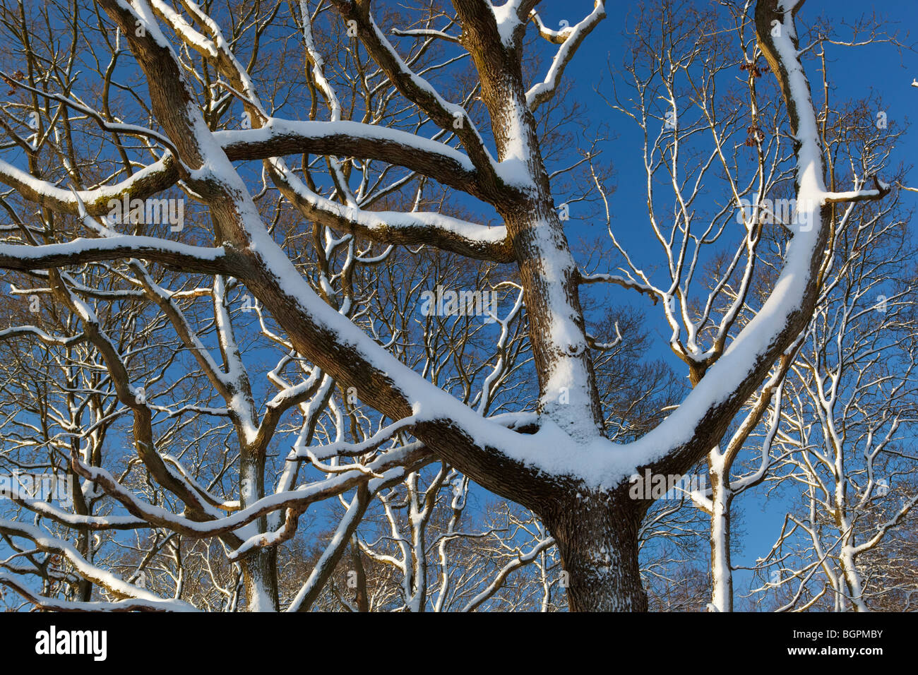 snow covered trees against blue sky - Stock Image
