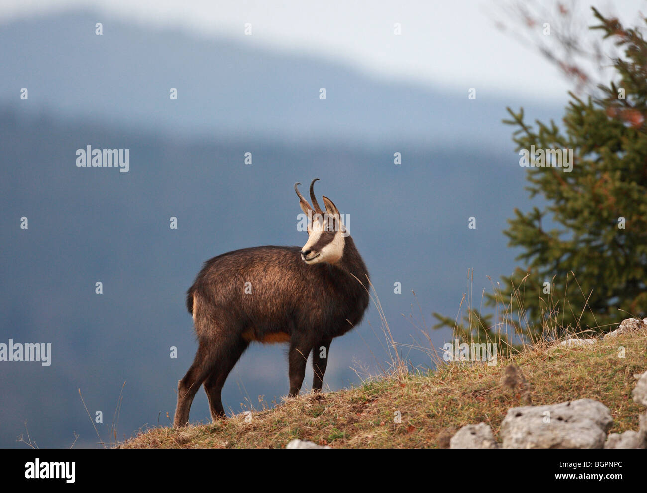 Rupicarpa rupicarpa, chamois, strictly protected animals under the European Habitats Directive. - Stock Image