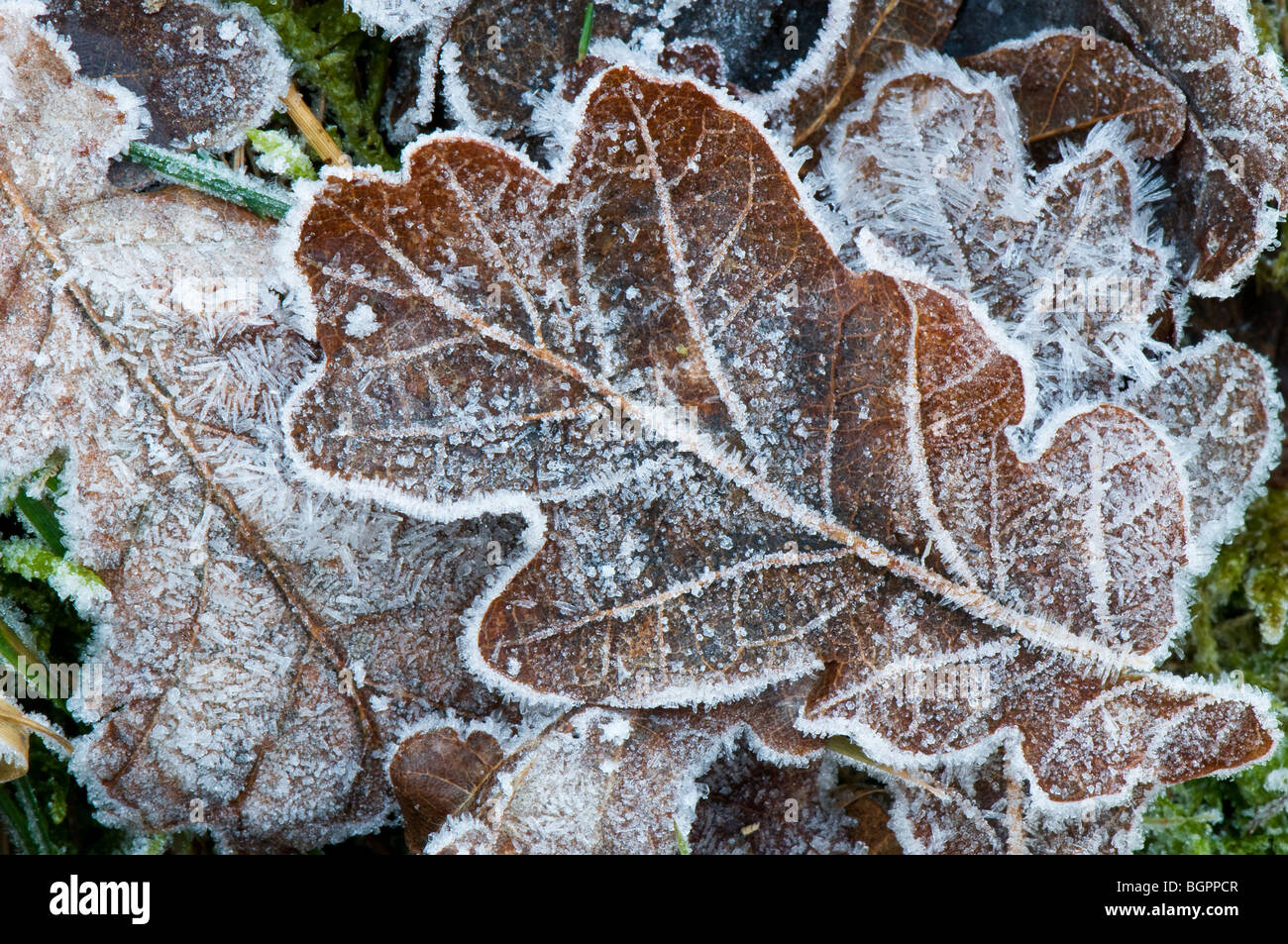 Frosted fallen oak leaf showing the edges and veins on the leaf, Devon UK Stock Photo
