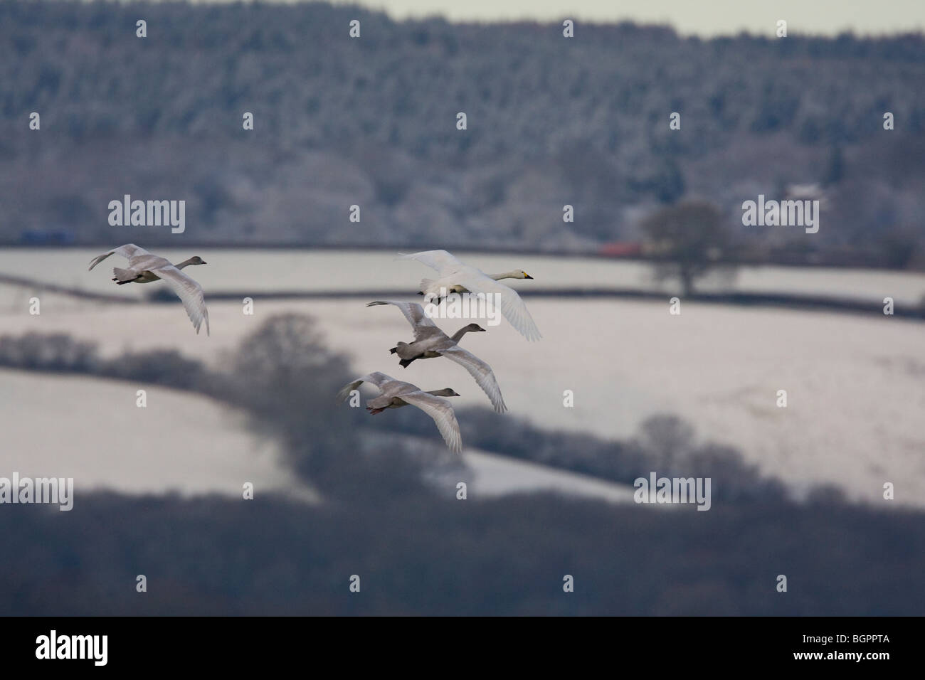 Group of Bewick's Swan Cygnus columbianus flying against frosty snow covered agricultural fields, Gloucestershire, Stock Photo